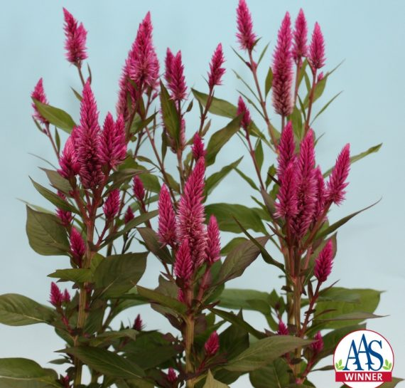 In the garden, Asian Garden Celosia continued to bloom on sturdy stems, keeping the bright pink color all summer long, holding up even through some of the first frosts of the season.