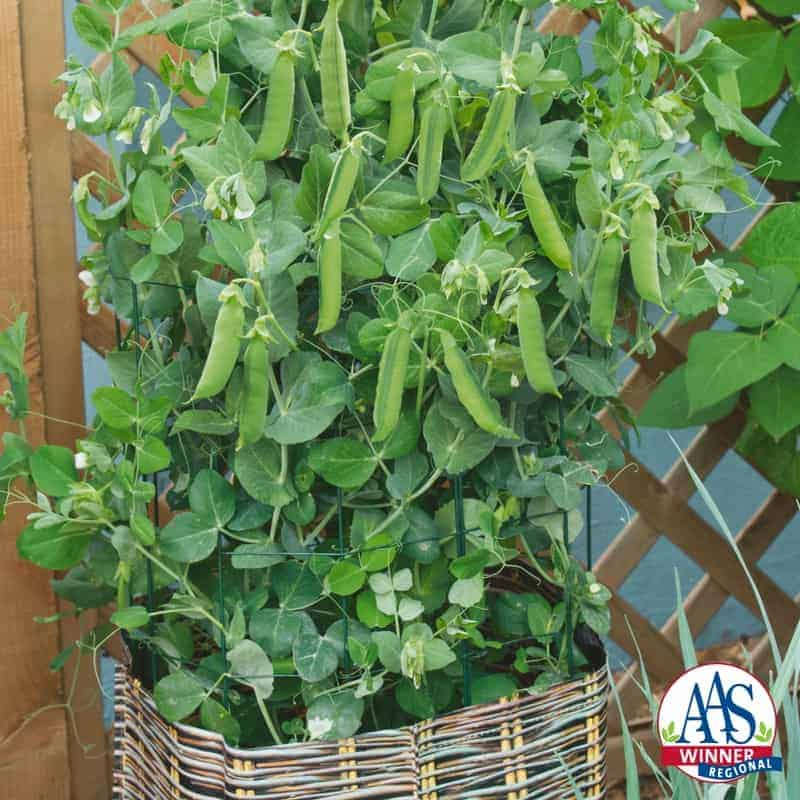 Pea patio pride all america selections for Indoor gardening green beans