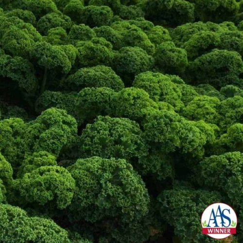 Kale Prizm, AAS Winner - When grown, Prizm produces attractive short, tight ruffle-edged leaves that are content to be grown in containers as well as in-ground beds.