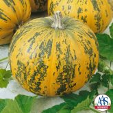 Pepitas Pumpkin - The newest All-America Selections award winning pumpkin, Pepitas, is a winner in both the decorative and culinary arenas.