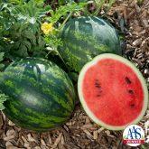 Mini Love Watermelon - This personal-sized Asian watermelon is perfect for smaller families and smaller gardens. Shorter vines (3-4') still produce up to six fruits per plant and can be grown in smaller spaces.