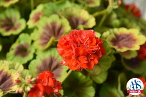 This 2016 AAS Winner, Geranium Brocade Fire, has unique bicolor foliage with a nonstop display of semi-double orange flowers that gives it an exceptional look in any garden.