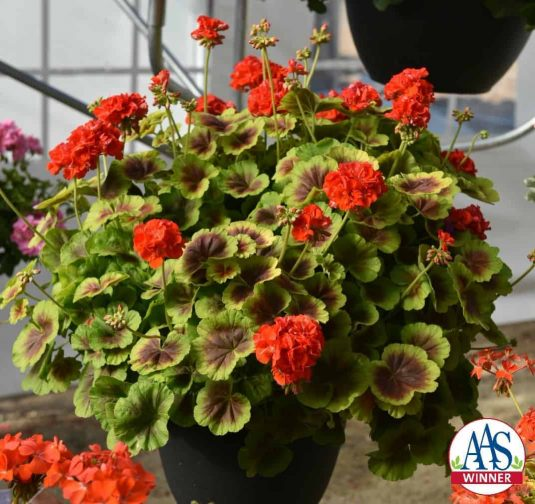 Geranium Brocade Fire This 2016 AAS Winner, Geranium Brocade Fire, has unique bi-color foliage with a nonstop display of semi-double orange flowers that gives it an exceptional look in any garden.