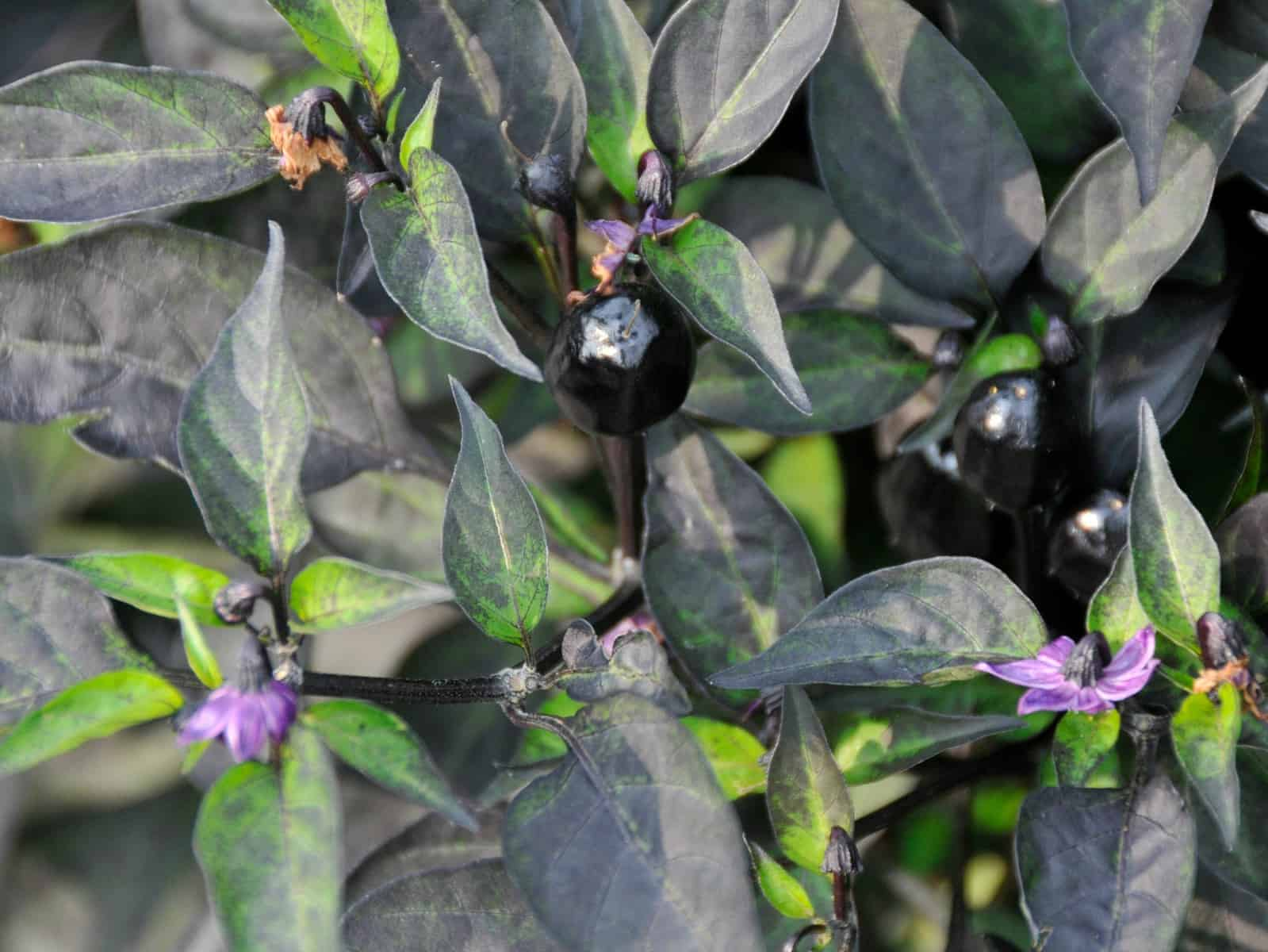 ornamental pepper black hawk f1 allamerica selections
