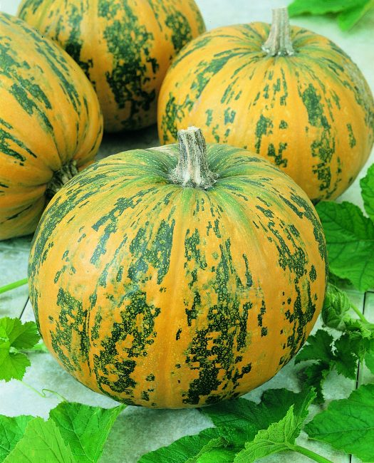 Pumpkin Pepitas - The newest All-America Selections award winning pumpkin, Pepitas, is a winner in both the decorative and culinary arenas.