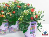 Strawberry Delizz® F1 2016 AAS Vegetable Award Winner What's not to like about our first ever AAS strawberry winner Strawberry Delizz® F1? These vigorous strawberry plants are easy to grow, from seed or transplant, and produce an abundant harvest throughout the growing season.