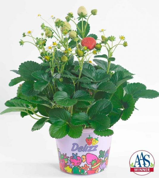 Strawberry Delizz® AAS Edible - Vegetable Winner What's not to like about our first ever AAS strawberry winner? These vigorous strawberry plants are easy to grow, from seed or transplant, and produce an abundant harvest throughout the growing season.