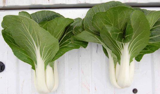 Pakchoi Bopak AAS Winnermatures early and the tender leaves with crisp sweet stalks taste great.