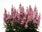 Angelonia Serenita™ Pink F1 2014 AAS Flower Award Winner EASY TO GROW AND MAINTAIN – IDEAL FOR BEGINNER GARDENERS