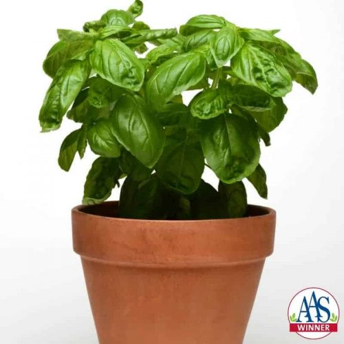 Basil Dolce Fresca - Dolce Fresca produces sweet tender leaves that outshone the comparison varieties while maintaining an attractive, compact shape that's both versatile and beautiful.