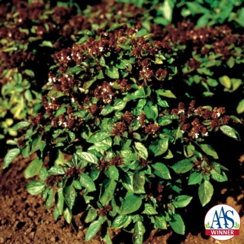 Basil Magical Michael - 2002 AAS Edible - Vegetable Winner - An ornamental, edible sweet basil with a clearly refined plant size and shape, 'Magical Michael' plants are uniform and reliably 15 inches tall and 16-17 inches wide.