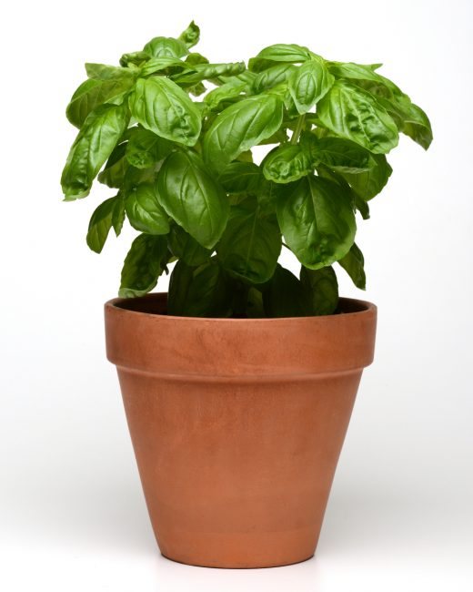 Dolce Fresca Basil produces sweet tender leaves that outshone the comparison varieties while maintaining an attractive, compact shape that's both versatile and beautiful.