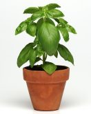 Basil Dolce Fresca produces sweet tender leaves that outshone the comparison varieties while maintaining an attractive, compact shape that's both versatile and beautiful.