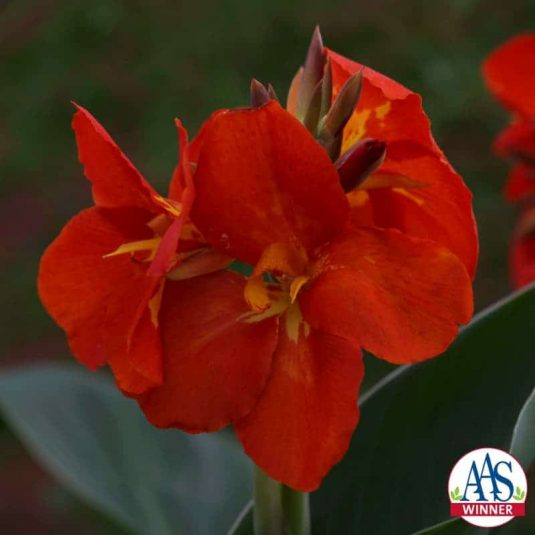 Canna 'South Pacific Scarlet' F1 2013 AAS Flower Award Winner This variety is grown from seed, not tuber.
