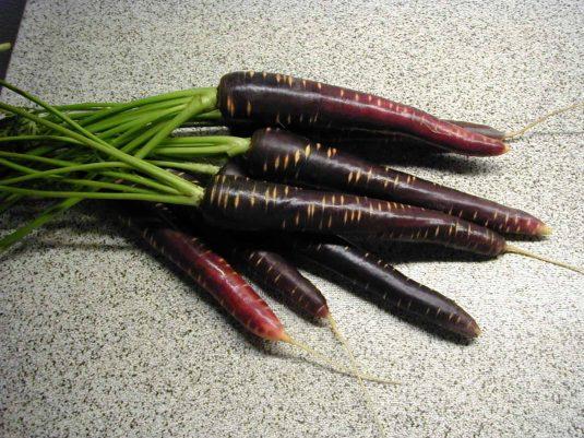 Carrot Purple Haze F1 - 2006 AAS Vegetable Award Winner 'Purple Haze' is the first imperator-shaped purple carrot.