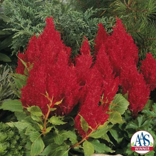 Celosia Fresh Look Red (Gold Medal) - 2004 AAS Flower Winner Fresh Look Red performs like a fresh floral arrangement all summer.