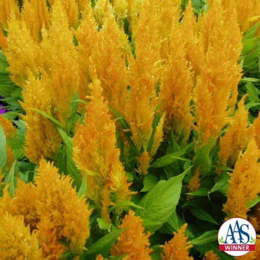 Celosia Fresh Look Yellow- 2004 AAS Flower Winner Fresh Look Yellow offers season-long garden color with minimal care.