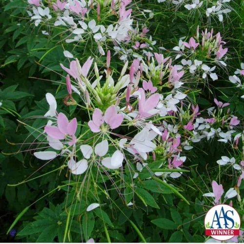 Cleome Sparkler Blush F1 - 2002 AAS Flower Winner 'Sparkler Blush' flowers freely all season.