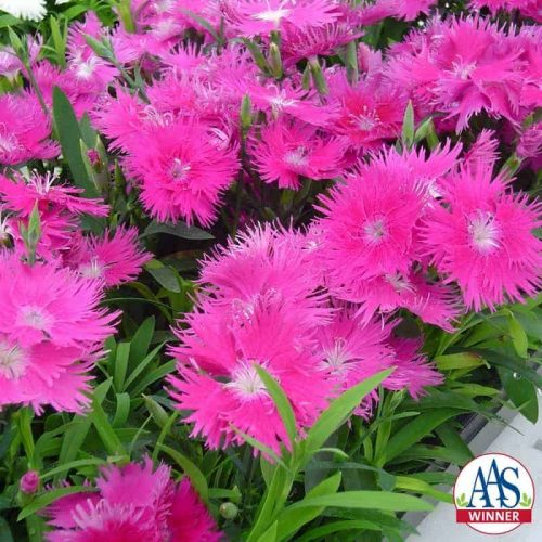 Dianthus Supra Purple F1 - 2006 AAS Bedding Plant Winner. Supra Purple fills garden space with color.