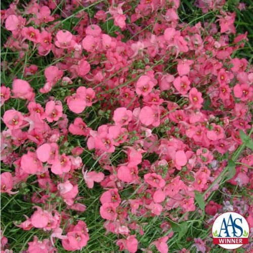 Diascia Diamonte Coral Rose F1 -2006 AAS Cool Season Bedding Plant Winner - Diamonte Coral Rose is an improved variety in a class that was relatively unknown five years ago.