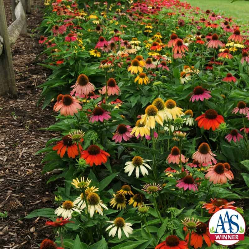 Echinacea 'Cheyenne Spirit' 2013 AAS Flower Award Winner This stunning first-year flowering Echinacea captures the spirit of the North American plains by producing a delightful mix of flower colors from rich purple, pink, red and orange tones to lighter yellows, creams and white.