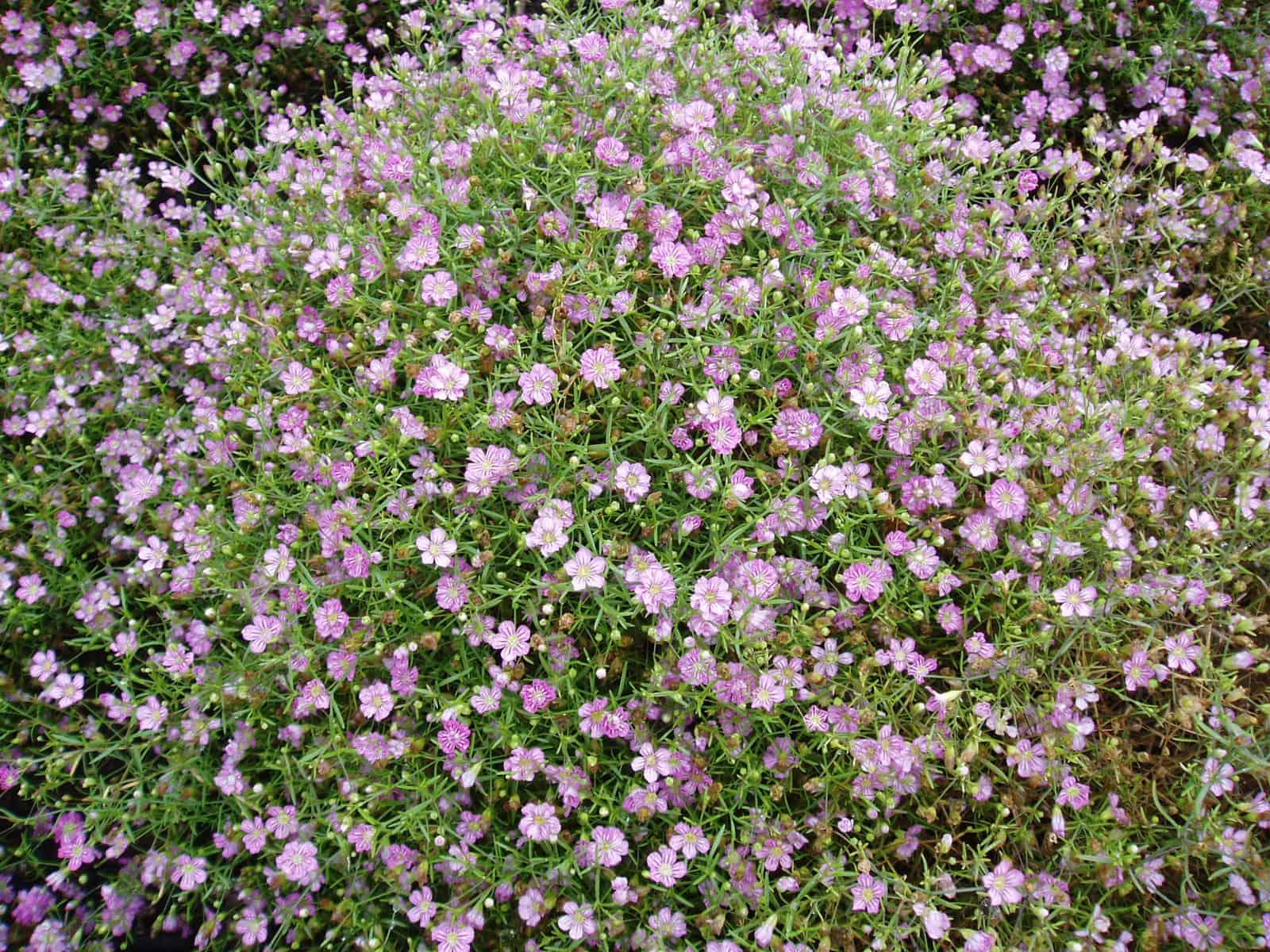 Gypsophila Gypsy Deep Rose All America Selections