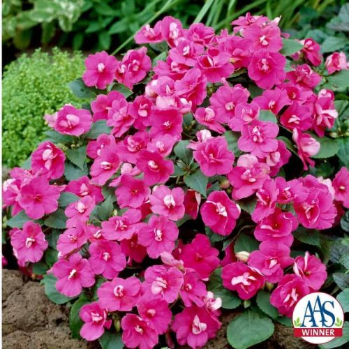 Impatiens Victorian Rose F1 - 1998 AAS Bedding Plant Winner - Soft rose colored consistently semidouble flowers are improvements.