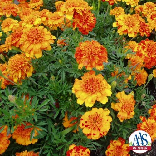 Marigold Bonanza Bolero -1999 AAS Bedding Plant Winner This marigold is distinct because of its irregular gold and red design.