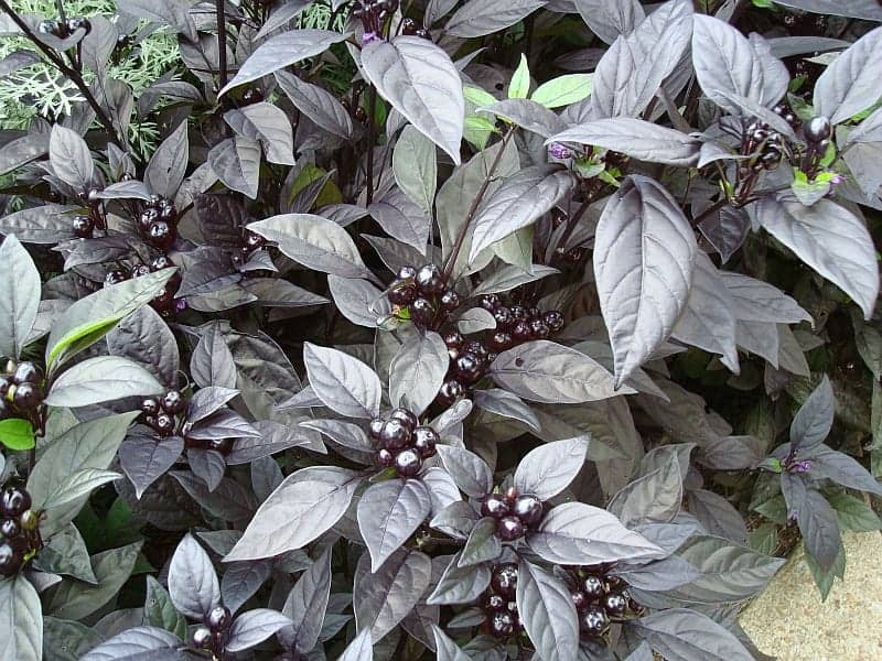 ornamental pepper black pearl allamerica selections