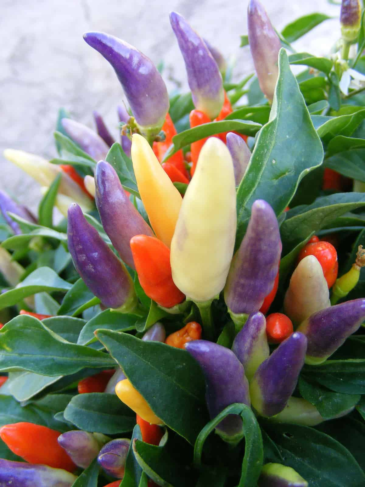 Ornamental pepper numex easter all america selections for Ornamental vegetable plants