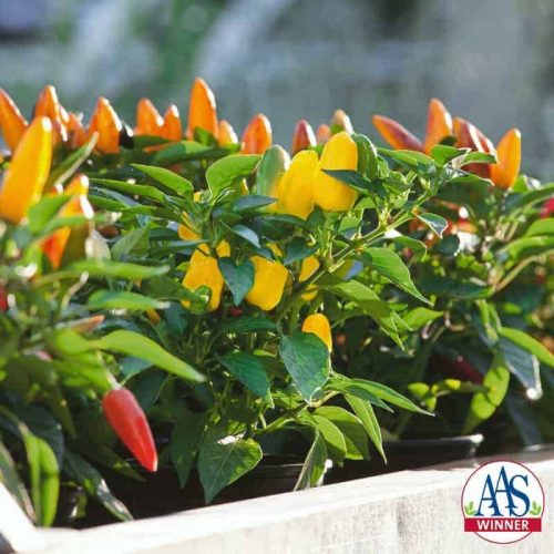 "Pretty N Sweet Pepper F1 is just that: a sweet, multi-colored pepper on a compact 18"" plant that is attractive to use in ornamental gardens and containers."