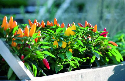 """Pretty N Sweet Pepper F1 is just that: a sweet, multi-colored pepper on a compact 18"""" plant that is attractive to use in ornamental gardens and containers."""
