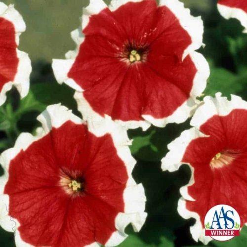 Petunia Red Picotee