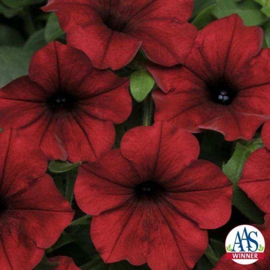 Petunia Tidal Wave Red Velour F1 - Large flowers literally cover the vigorously spreading plants that rarely need deadheading because new blooms continuously pop up and cover the old, spent blooms.