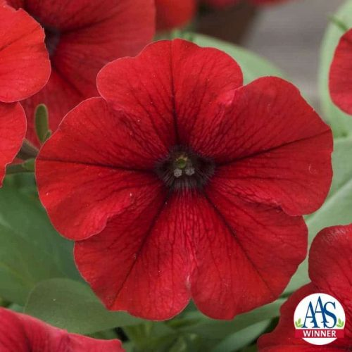 Petunia Trilogy Red F1 - 2015 AAS Bedding Plant Winner The Trilogy petunia series has a new color with this stunningly rich, vibrant red version!