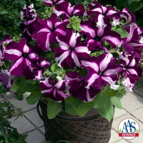 Petunia Ultra Crimson Star F1