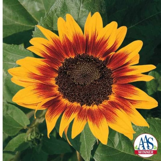 Sunflower Ring of Fire- 2001 AAS Flower Winner Ring of Fire is a five-inch sunflower having golden petal edges and a ring of red surrounding the chocolate brown center.