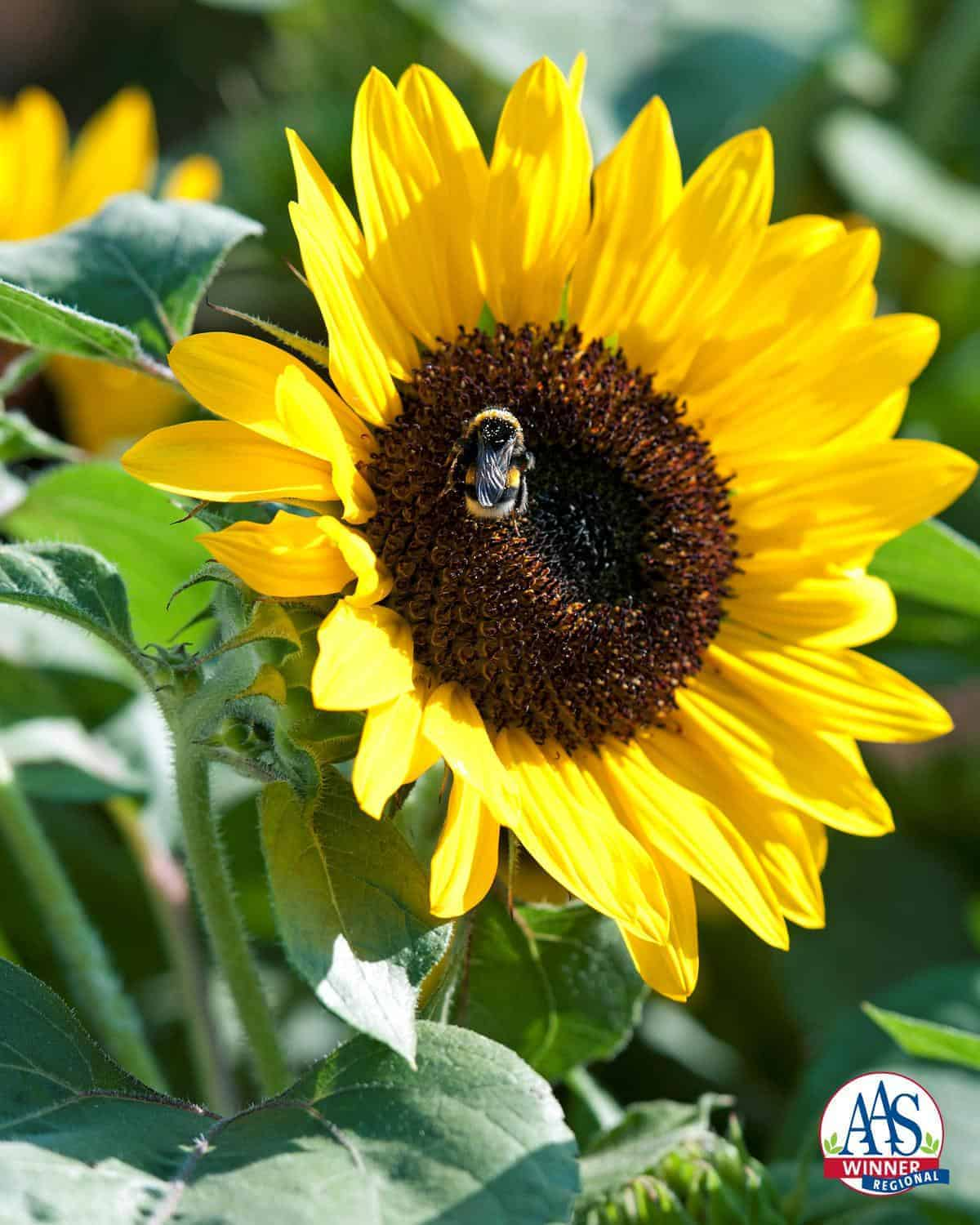 Indoors Garden Sunflower Suntastic Yellow With Black Center F1 All