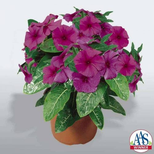 Vinca First Kiss Blueberry- 2005 AAS Flower Winner - The first blue-flowered Catharanthus rosea is an AAS Winner named First Kiss Blueberry.