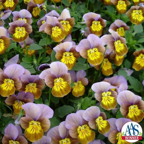 Viola Skippy XL Plum-Gold hybrid - 2008 AAS Cool Season Bedding Plant Award Winner The flowers are uniquely designed with plum shades surrounding the golden centers (face), which contain radiating black lines affectionately called whiskers.