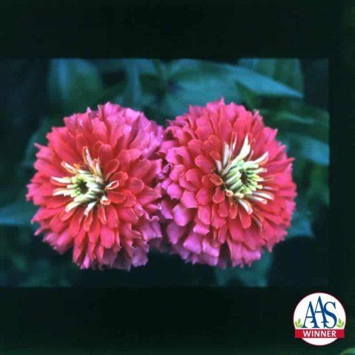 Zinnia Border Beauty Rose