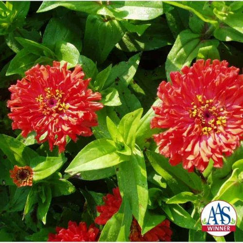 Zinnia Peter Pan Flame