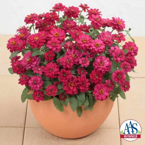 Zinnia Profusion Double Hot Cherry 2013 AAS Bedding Plant Award Winner This award winner features rich rose, double petal blooms which cover flower continuously from spring through frost.