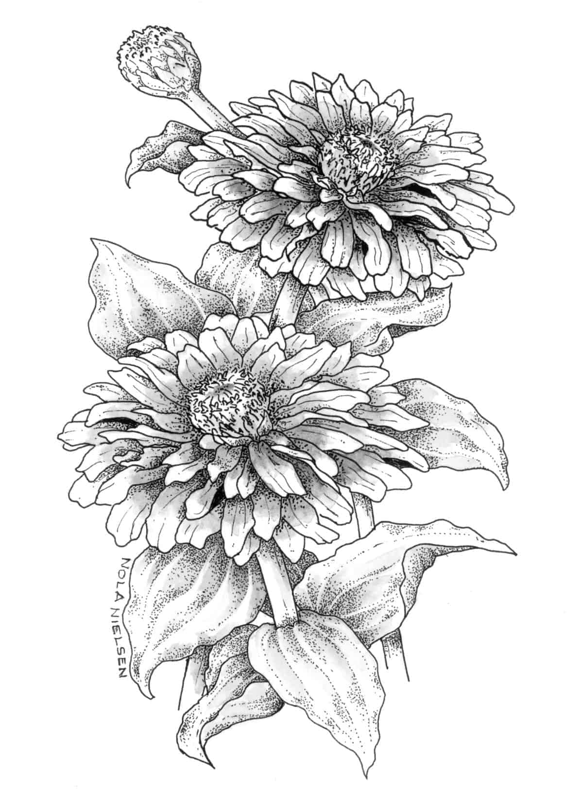 Zinnia Line Drawing : Zinnia zowie yellow flame f all america selections