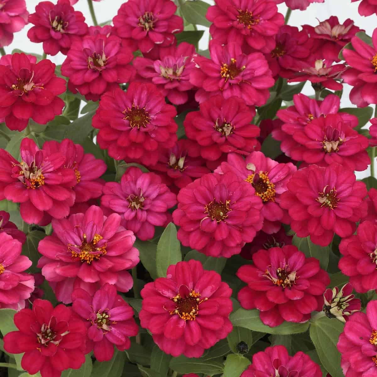 Zinnia Profusion Double Hot Cherry All America Selections