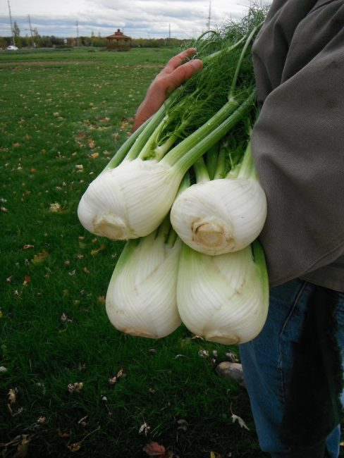 Fennel Antares F1 - 2017 AAS Edible - Vegetable Winner - What is extremely fun about this winning plant is its many uses: as an edible bulb; for its ornamental fronds; as a seed producer; and as a favorite food of pollinators, namely swallowtail caterpillars.