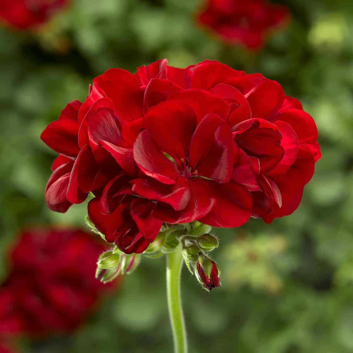 geranium calliope® medium dark red | all-america selections