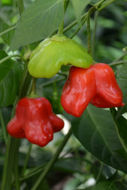 Pepper Mad Hatter F1 - 2017 AAS Edible - Vegetable Winner