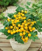 Tomato Patio Choice Yellow F1 - 2017 AAS Edible - Vegetable Winner