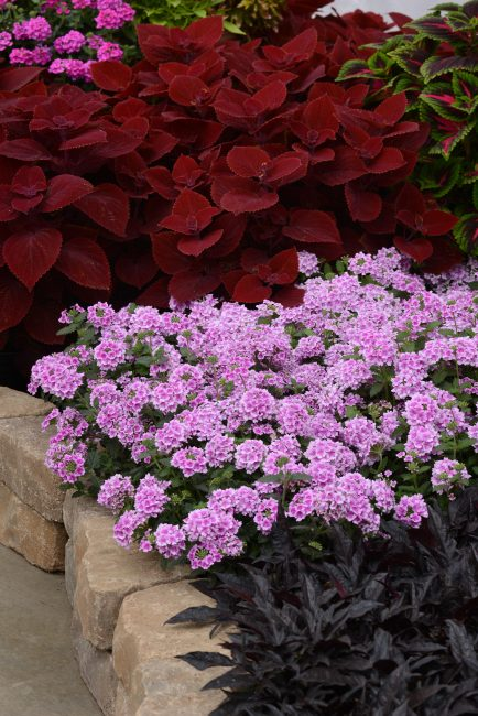 Verbena EnduraScape™ Pink Bicolor - 2017 AAS Flower Winner